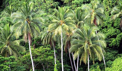 Kokosové palmy, Indonézia