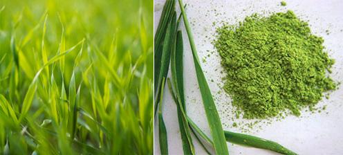 Na živiny bohaté mladé zelené výhonky jačmeňa