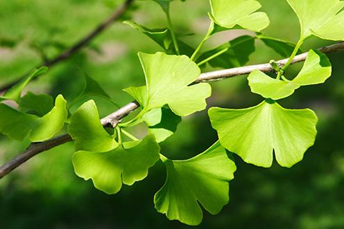Zelené listy Ginkgo biloba
