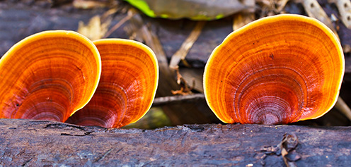 Reishi huba v prírode na dreve