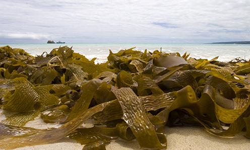 Kelp hnedá riasa na pobreží