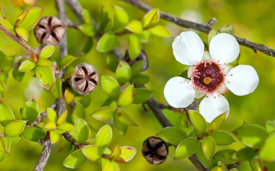 Kvet stromu Manuka (Leptospermum scoparium)