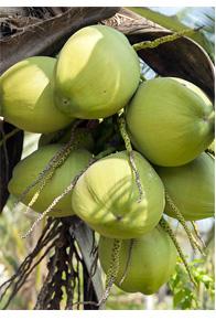 Zelené kokosové orechy na strome