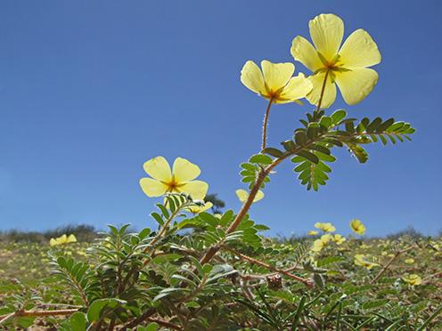 Tribulus terrestris rastlina, kotvičník zemný