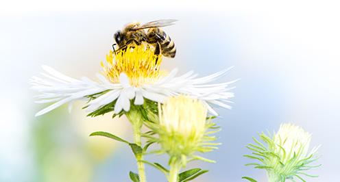 Včela na bielej kvetine, opeľovanie a zber nektáru