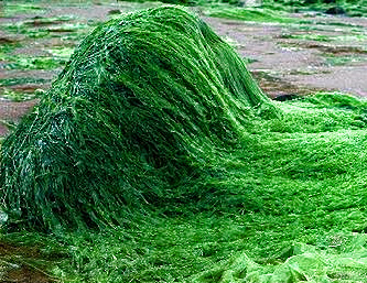 Spirulina platensis - sladkovodná riasa