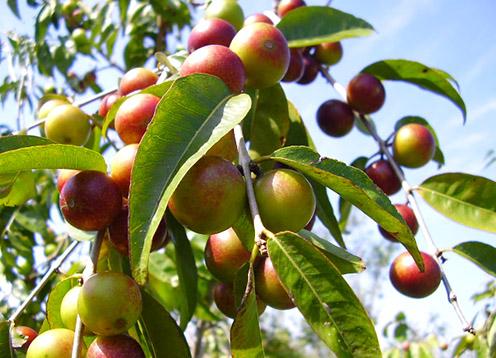 Plody Camu Camu - vysoký obsah prírodného vitamínu C